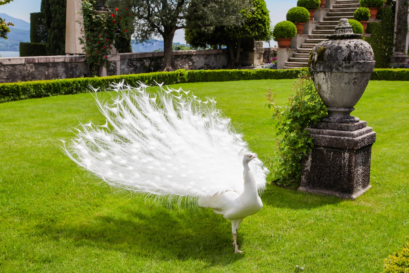 павлин, белый павлин, павлин на острове боромео
